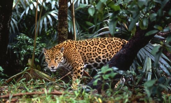 Costa Rica Jungle Cat
