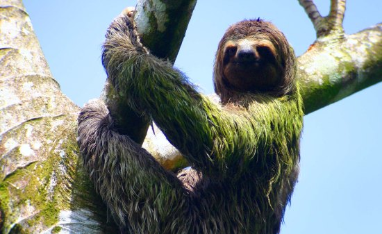 Osa Peninsula Tours sloth