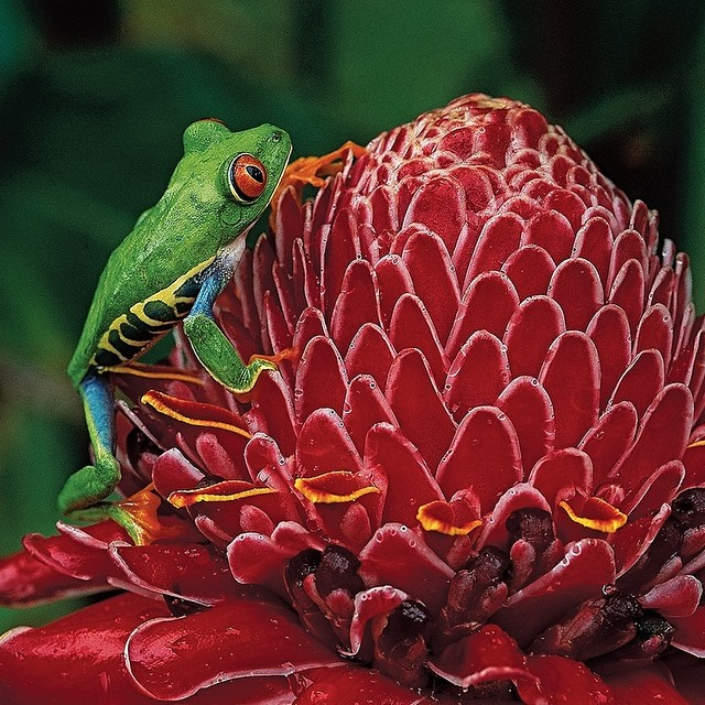 Colorful tree frog via the #costarica tourist board! #nature #vacations ?