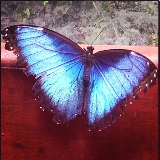 Blue Morpho butterfly at La Paz Waterfall Gatdens!#costarica #vacations