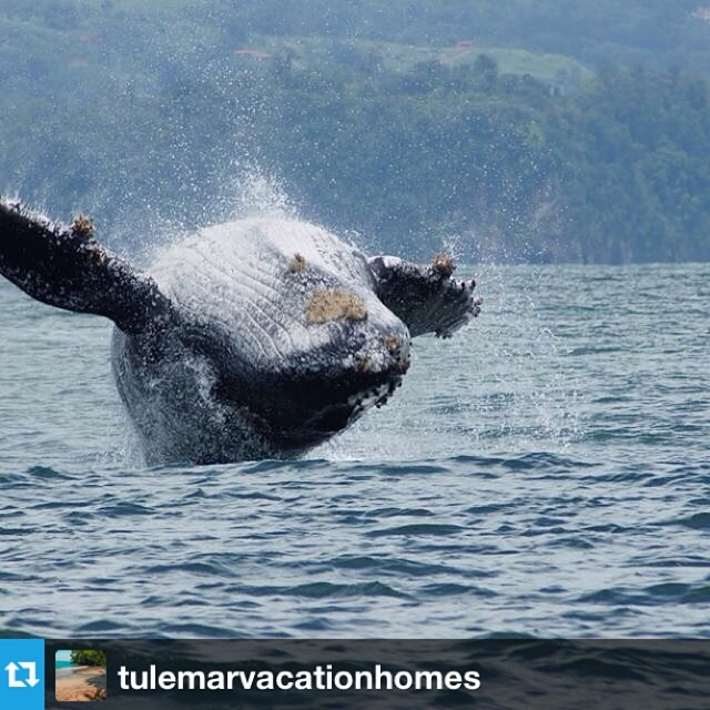 Such a cool picture from @tulemarvacationhomes of #whale season in Costa Rica! Thanks for sharing!