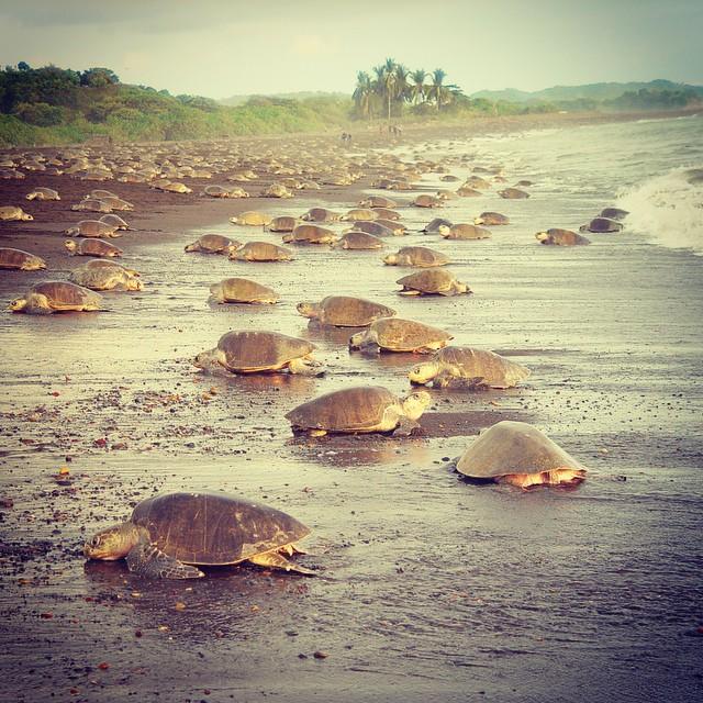 Where to go in Costa Rica to spot turtles? ??#tortuguero