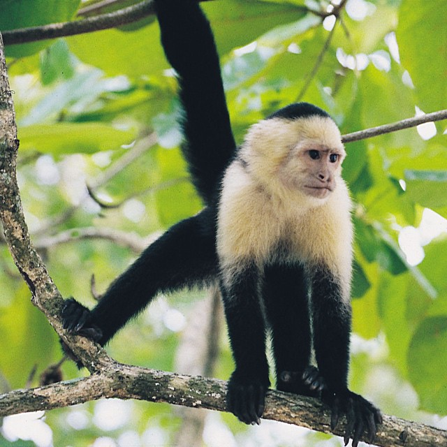 Costa Rica #monkey business on #wildlife Wednesday! #costarica #vacations ??