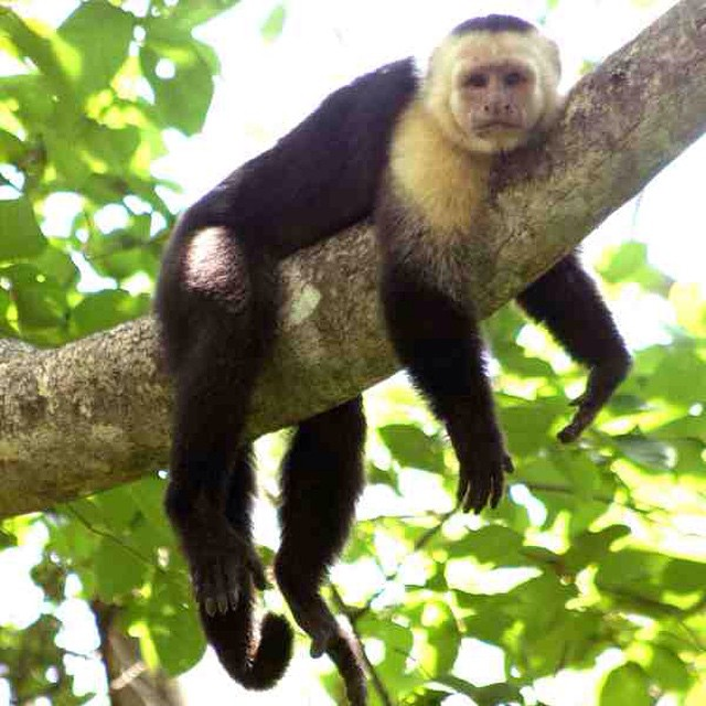 Happy hump day! Hope you get a moment to chill.. #monkey #wildlife #wednesday photo via Recreo Villas