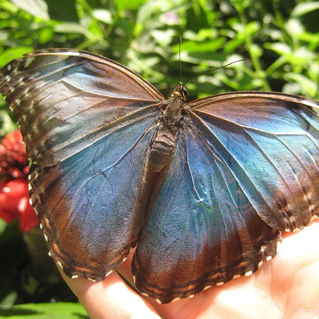The brilliant blues of the Blue Morpho Butterfly #costarica #nature #vacations