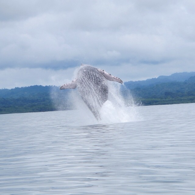 #Whale Watching in the Gulfo Dulce on the South Pacific #Coast! Incredible photo via @nicuesalodge ? #costarica #nature