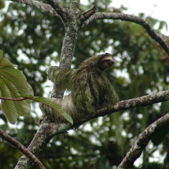Heads up! A sluggish #sloth hanging out in the #CostaRica #rainforest canopy.? #nature