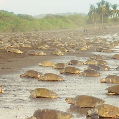 Costa Rica Sea Turtle Nesting: Where To Go When