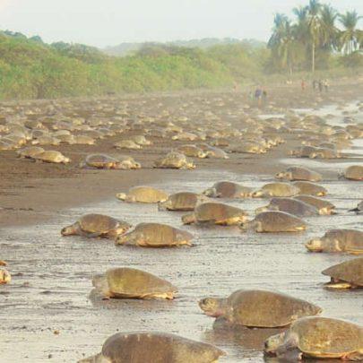 0da90ddd41 Best Costa Rica Sea Turtle Nesting Sites  Where To Go When