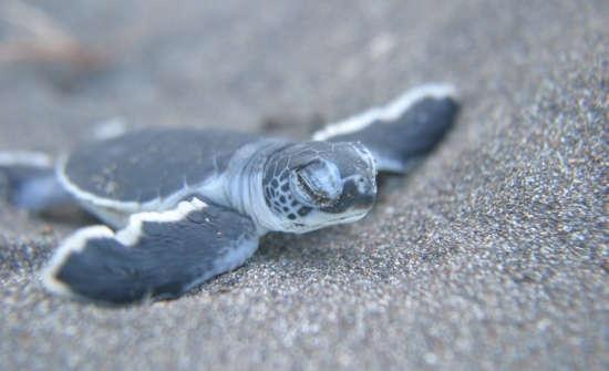 Costa Rica Sea Turtle Nesting: Where To Go When