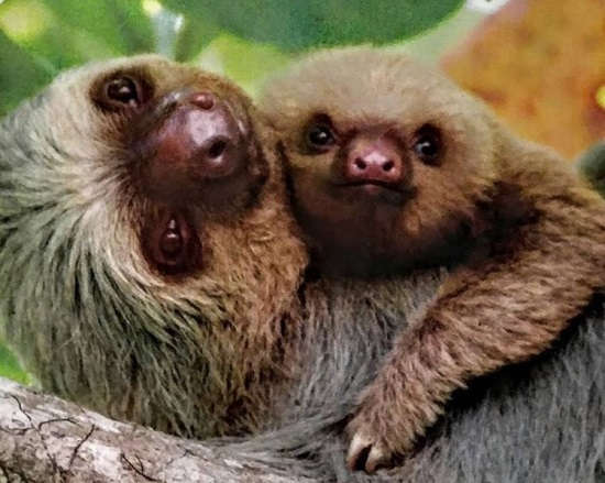 The Complete Guide to Sloths in Costa Rica