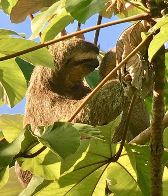 Sloth spotted on birdwatching hike