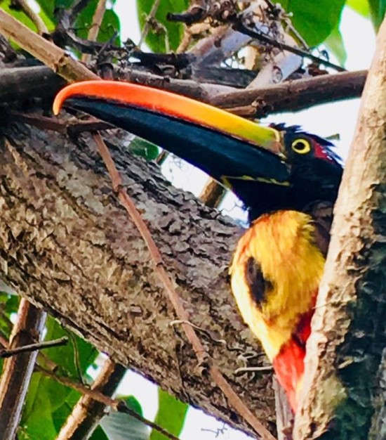 Toucan spotted on the morning birdwatching hike