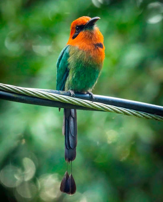 Broad-billed Motmot in Sarapiqui, Heredia via @fizzylina