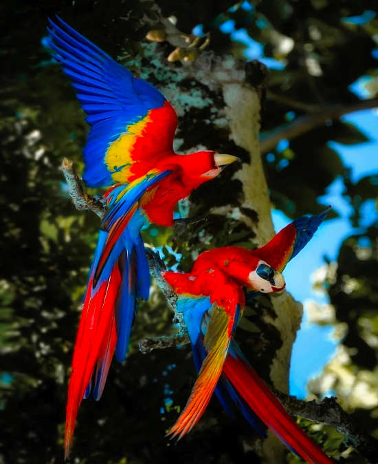 A pair of Scarlet Macaw in Corcovado National Park via @aritz_atela