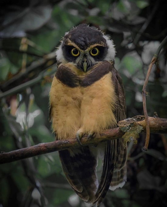 Spectacled Owl in Sarapiqui, Heredia via @gabrielramireazfoto