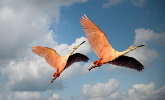 Low Angle Photography of Two Roseate Spoonbill Flying Under the Blue Sky