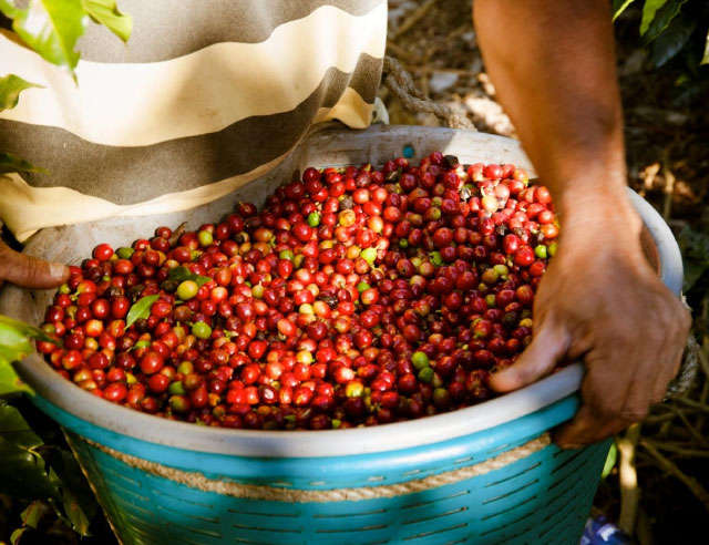 handpicked costa rica coffee